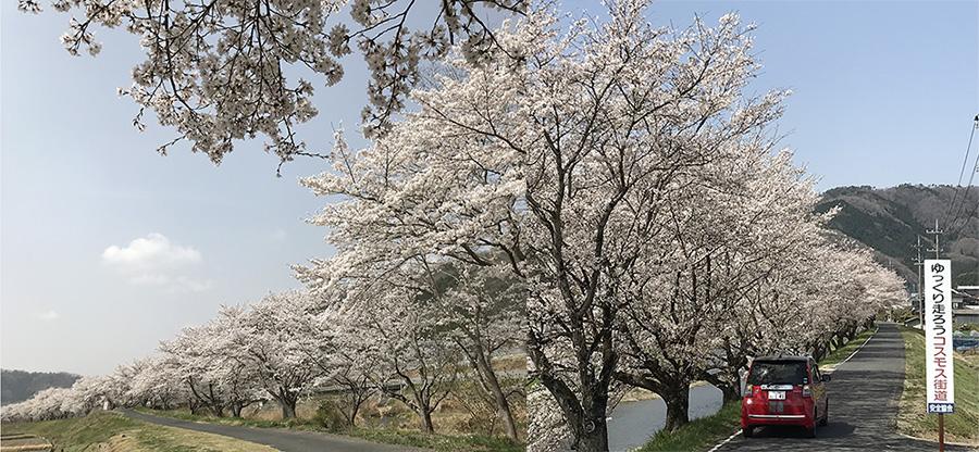 写真、真庭市桜