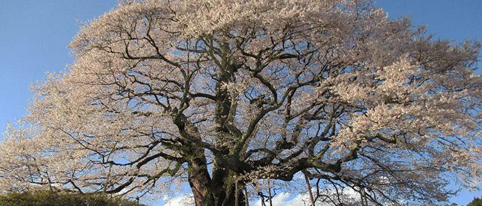 写真、醍醐桜